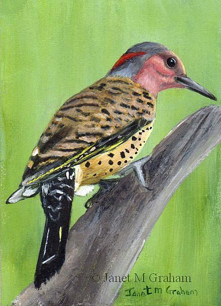 Art: Northern Flicker ACEO by Artist Janet M Graham