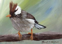 Art: White Collared Yuhina ACEO by Artist Janet M Graham
