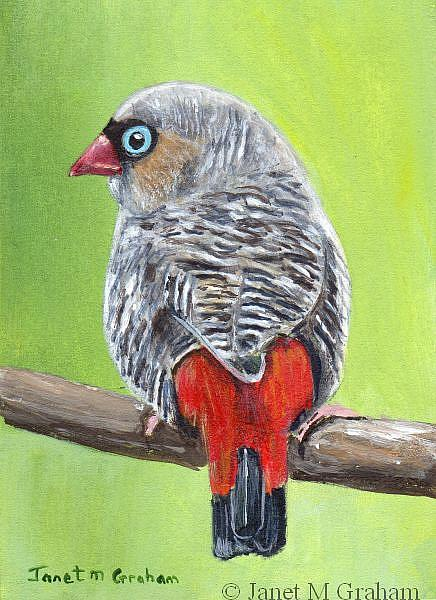 Art: Beautiful Firetail ACEO by Artist Janet M Graham