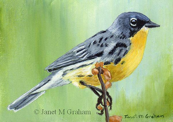 Art: Kirtland's Warbler ACEO by Artist Janet M Graham