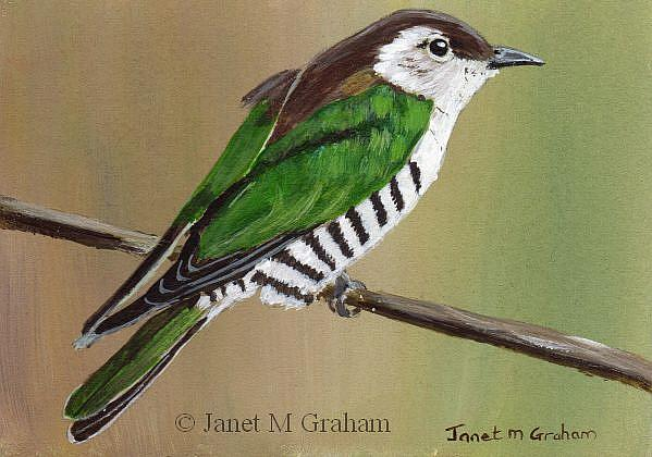 Art: Shining Bronze Cuckoo ACEO by Artist Janet M Graham