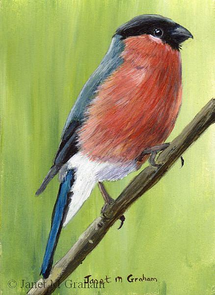 Art: Bullfinch ACEO by Artist Janet M Graham