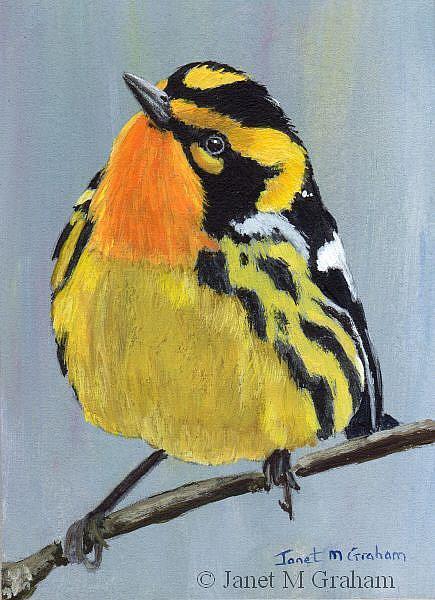Art: Blackburnian Warbler ACEO by Artist Janet M Graham