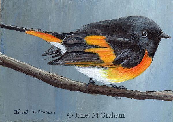 Art: American Redstart ACEO by Artist Janet M Graham