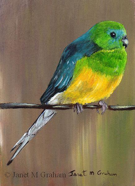 Art: Red Rumped Parrot ACEO by Artist Janet M Graham