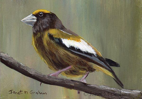 Art: Evening Grosbeak ACEO by Artist Janet M Graham
