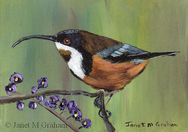 Art: Eastern Spinebill ACEO by Artist Janet M Graham