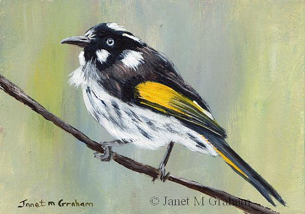 Art: New Holland Honeyeater ACEO by Artist Janet M Graham