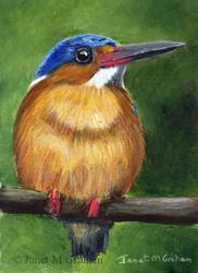 Art: Malagasy Kingfisher ACEO by Artist Janet M Graham