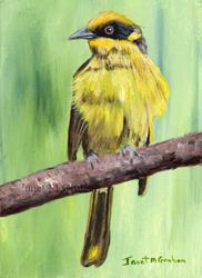 Art: Yellow Tufted Honeyeater ACEO by Artist Janet M Graham