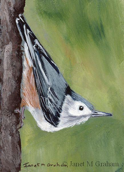 Art: White Breasted Nuthatch ACEO by Artist Janet M Graham