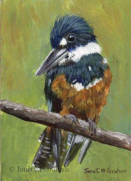 Art: Ringed Kingfisher ACEO by Artist Janet M Graham