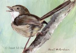 Art: Red Backed Fairy Wren ACEO by Artist Janet M Graham