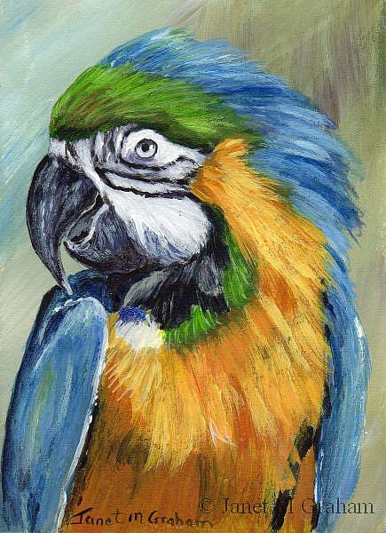 Art: Macaw ACEO by Artist Janet M Graham