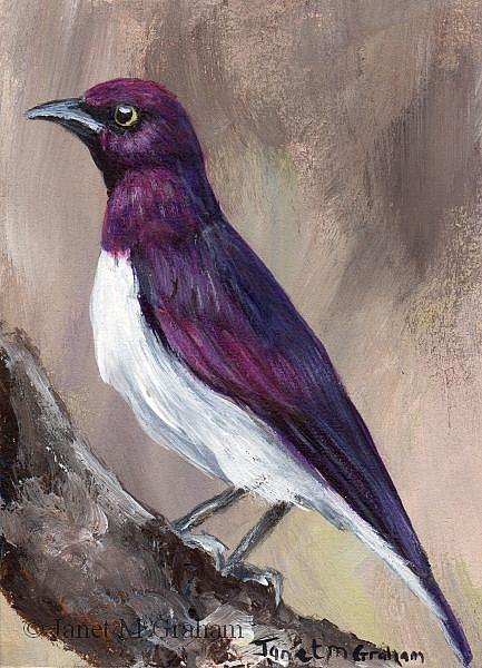 Art: Violet Backed Starling ACEO by Artist Janet M Graham