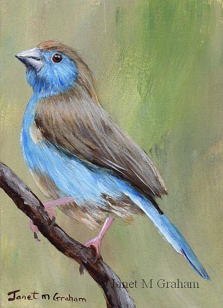 Art: Blue Waxbill ACEO by Artist Janet M Graham