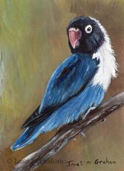 Art: Blue Masked Lovebird ACEO by Artist Janet M Graham