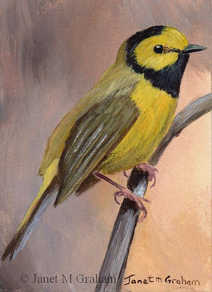 Art: Hooded Warbler ACEO by Artist Janet M Graham