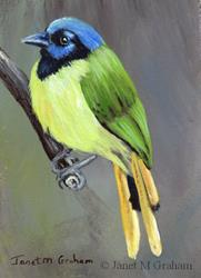 Art: Green Jay ACEO by Artist Janet M Graham
