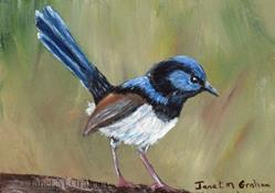 Art: Superb Fairy Wren ACEO by Artist Janet M Graham