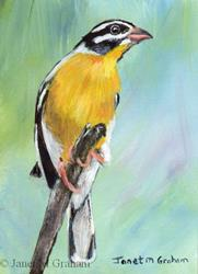 Art: Golden Breasted Bunting ACEO by Artist Janet M Graham