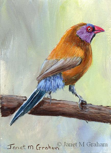 Art: Violet Eared Waxbill ACEO by Artist Janet M Graham