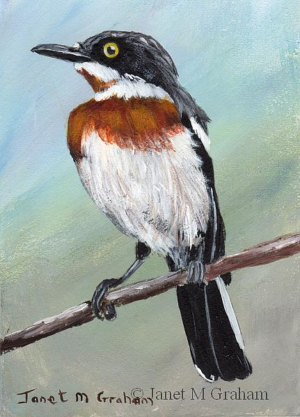 Art: Chinspot Batis ACEO by Artist Janet M Graham