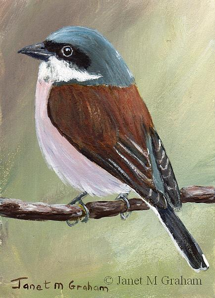 Art: Red Backed Shrike ACEO by Artist Janet M Graham