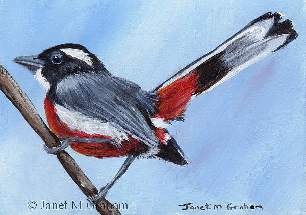 Art: Red Breasted Chat ACEO by Artist Janet M Graham