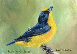 Art: Violaceous Euphonia ACEO by Artist Janet M Graham