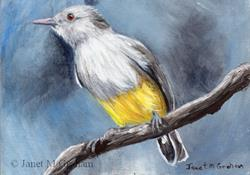 Art: Yellow Bellied Eremomela ACEO by Artist Janet M Graham