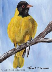 Art: Black Headed Oriole ACEO by Artist Janet M Graham