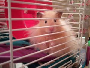 Detail Image for art Hamster Portrait-Sold