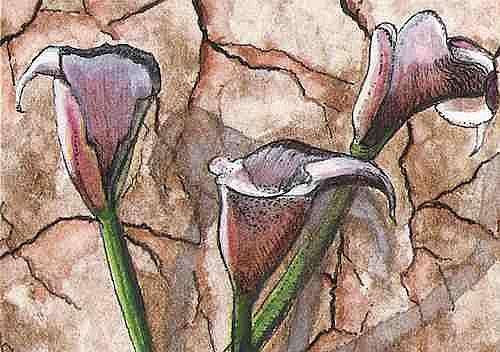 Art: Old Fashioned Calla's ACEO by Artist Melanie Pruitt