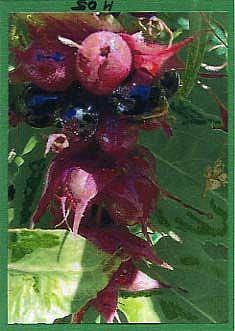 Art: RED BERRIES #6 by Artist Gabriele Maurus