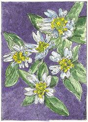 Art:  MOUSE-EARED CHICKWEED by Artist Theodora Demetriades