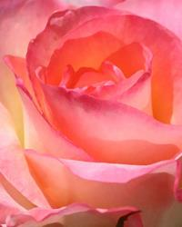 Art: Audrey's Pink Rose by Artist Laurie Justus Pace