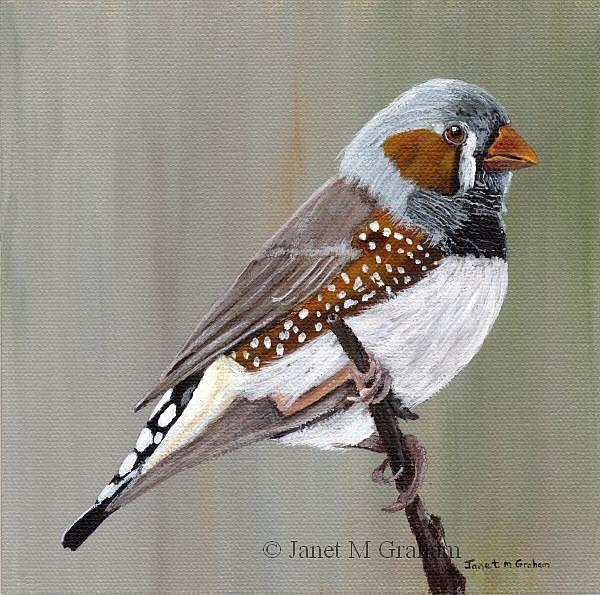 Art: Zebra Finch by Artist Janet M Graham
