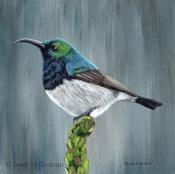 Art: White Bellied Sunbird by Artist Janet M Graham