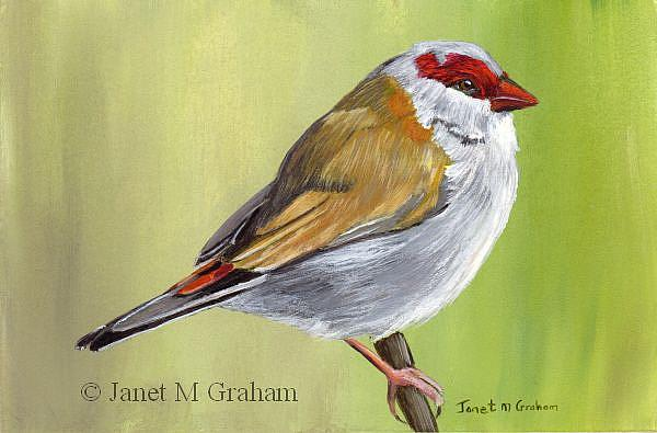 Art: Red Browed Finch by Artist Janet M Graham