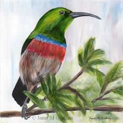 Art: Southern Double Collared Sunbird by Artist Janet M Graham