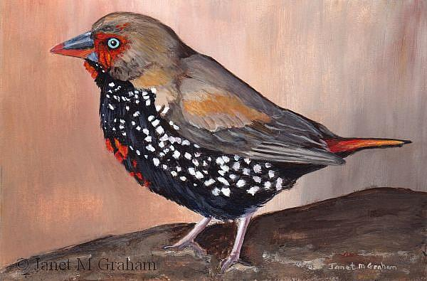 Art: Painted Firetail by Artist Janet M Graham