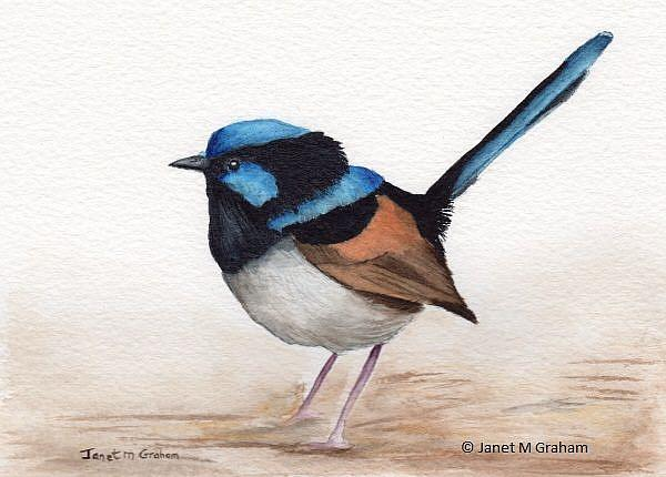 Art: Superb Fairy Wren by Artist Janet M Graham