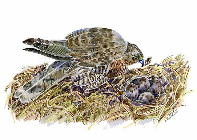 Art: Sparrow Hawk by Artist Naquaiya