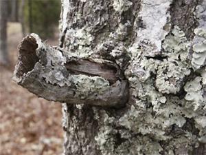 Detail Image for art Tree Horns