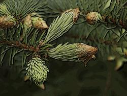 Art: New Pine Growh by Artist Deanne Flouton