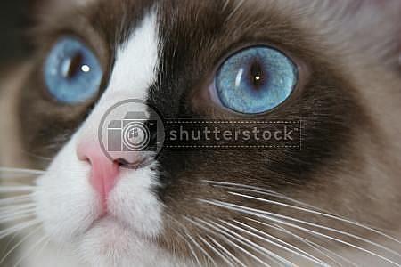 Art: Cat Blue Eyes by Artist Dia Spriggs