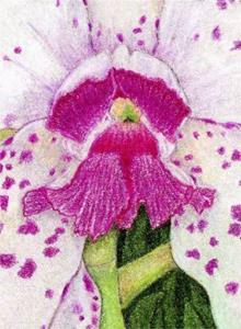 Detail Image for art Cattleya Orchid