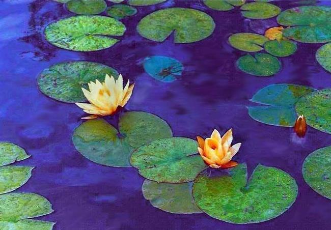 Art: Water Lilies by Artist Shawn Marie Hardy