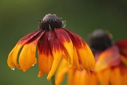 Art: Coneflower with Raindrop by Artist Carolyn Schiffhouer